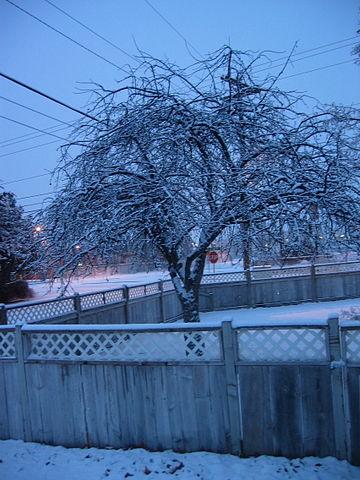 360px-Snowed-in_tree_in_Hermiston